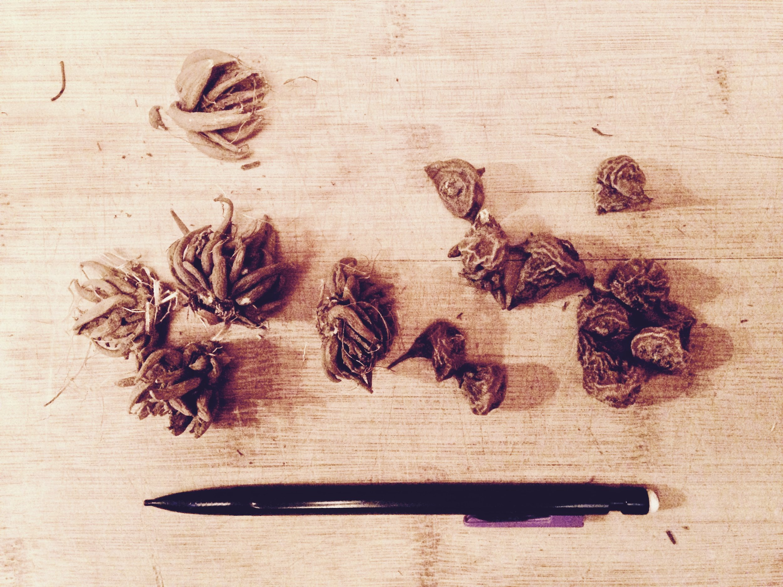 Ranunculus (left) and anemone corms (right) before being planted.