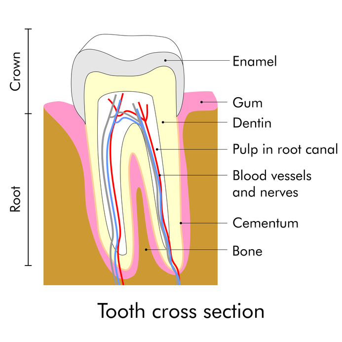 Image of a tooth cross section including the root and crown portions. this image helps in understanding root canal necessity and process.