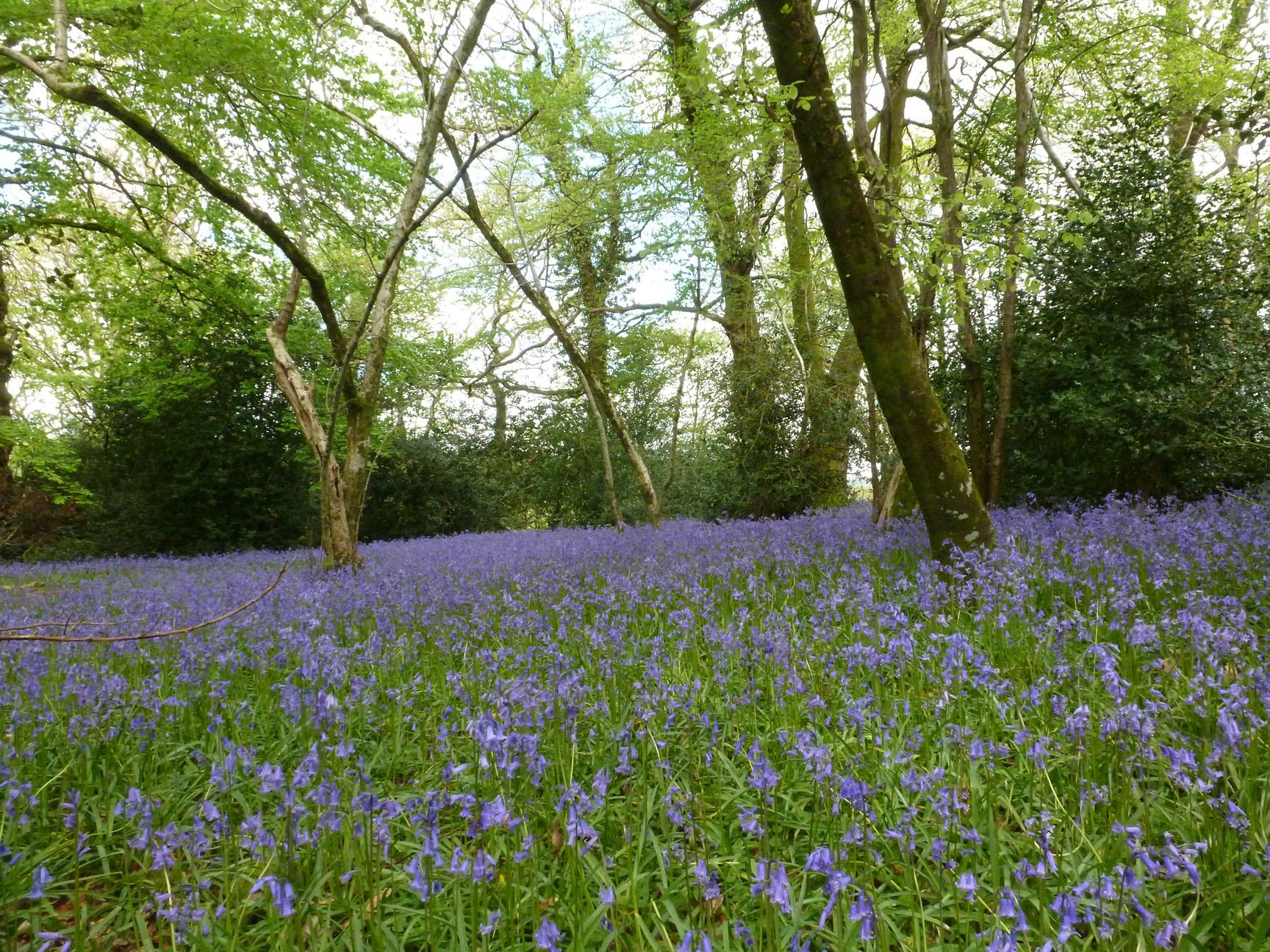 Exmoor and bluebells 048.jpg
