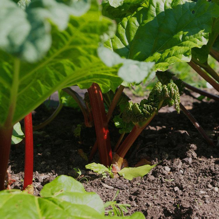 Start with rhubarb.