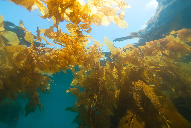 Seaweed in the ocian