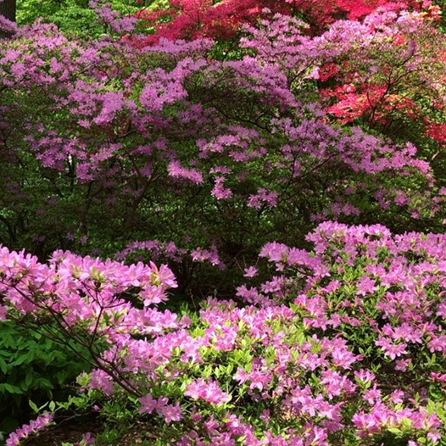 Gorgeous day at @winterthurmuse So lucky to see the breathtaking sight of the Azalea Woods blooming ... divine 😍Winterthur is the creation of Henry Francis du Pont and considered one of the America's finest naturalistic gardens. The bloom sequence is finely orchestrated and right now the garden's at it's blooming best!!