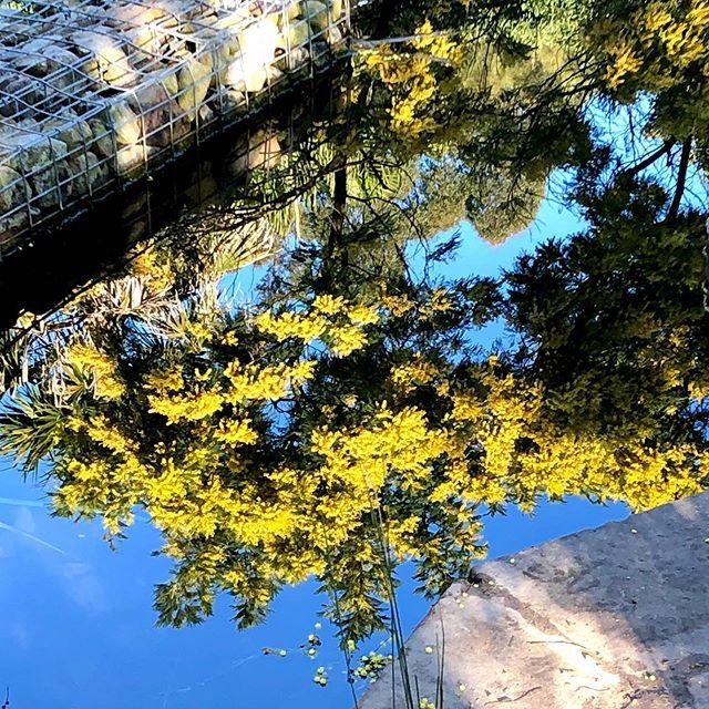 Winter wattle in Sydney Park on Thursday .... #acacia #winterflowers #wattle #yellow #yellowflowers #nativeplants #sydney #sydneypark #innerwest #reflections #bluesky #winterdays #flowerphotography #flora #indigenousplants #plants #plantsofinstagram #sydneyaustralia #fluffy #water #ponds #publicpark #urbangreen #greenspace #morning