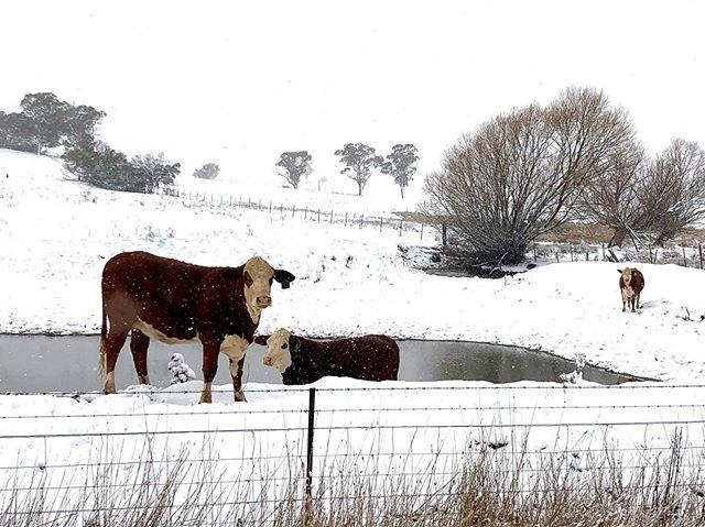 A snowy welcome home ... . #milthorpe #snow #centralwestnsw #cows #cowsofinstagram #country #winter #naturephotography #peaceful #snowbound #winterdays #nsw #orangensw #paddock #white #downunder #aussie #farm #winterscene