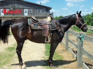 Bandit – Line Horse, Gelding, Quarter/Mustang, born 1995    I am one easy going horse. If I get a nervous guest as a rider, you can bet I will have them at ease by the end of the ride! I am no speedster, but I heard slow and steady wins the race. I have not been at the ranch a long time, but in my time here I have become a horse that everyone can enjoy!