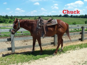 Chuck – Line Horse, Gelding, Quarter Horse, born 2005    I am a good sturdy horse suited for just about anyone. I get along great with little kids and can also handle a large adult. I have not been doing this job for too many years, but I think I do it really well. I have my little quirks, but I am eager to please!