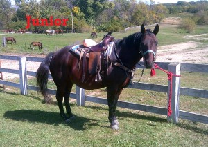 Junior- Line Horse, Gelding, Quarter Horse  I'm a BIG boy and I love to eat! I also love people, especially if they have treats. I'm kind of a jokester and enjoy stealing the staff's radios. My brother Pepper is like me in many ways, but he is a bit smaller.