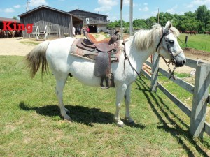 """King- Line Horse, Gelding, Arabian  I'm a favorite of the guests because of my personality. I'm super sweet, easy to control, and love everyone. People like my color because it's not the common chestnut or bay. My color is called a """"flee bitten"""" gray."""
