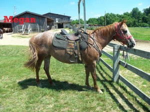 Megan- Line Horse, Mare, Quarter Horse  Everyone loves my coloring! I'm known as a strawberry roan. 'I'm probably one of the sweetest horses ever. I have been at the ranch for a long time and love my job!
