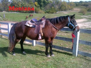Montana- Line Horse, Mare, Quarter Horse  I have been at White Pines Ranch for a long time, so I am a very good beginner horse. I have a very friendly attitude, and you'll also enjoy petting me since I am very fuzzy!