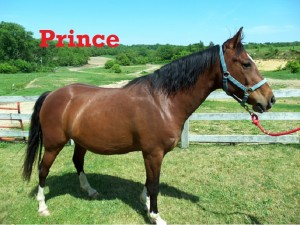 Prince- Line Horse, Gelding, Quarter Horse  I enjoy my job here at White Pines Ranch, and all the guests who visit me love it here too! I am a solid, steady horse and you can recognize me by my wavy mane and tail.