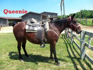 Queenie- Line Horse, Mare, Quarter Horse  My name fits my personality very well since I am large and in charge when I am out with the herd. I enjoy kids very much and guests love to ride me.