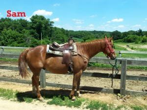 Sam- Line Horse, Gelding, Quarter Horse  I am a very good beginner horse because I am low and slow. I am also very confident out on the trails. If you choose me as your horse, you will fall in love with me.