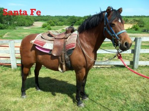 """Santa Fe- Line Horse, Mare, Quarter Horse  Don't let my little ears fool you! I have a big personality! I enjoy my time with our younger riders because I have been working here my whole life, and I really """"know the ropes"""" around WPR."""