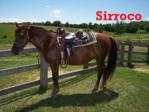 Sirroco- Line Horse, Mare, Quarter Horse  I have been with the herd for a while now, and I am very friendly. When the barn crew gives me treats, I am a very happy horse! I respond to the rider so the barn crew spoils me.