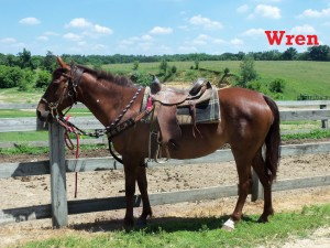 Wren- Line Horse, Mare  I am one of the smaller line horses, but I have a big personality.  I love taking people out on the trails since I am so calm and confident.