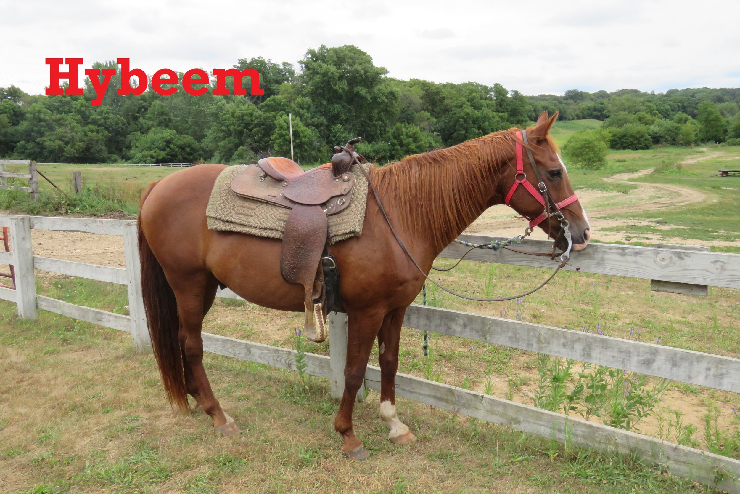 Hybeem- Line Horse, Gelding, Quarter Horse    My name is Hybeem but people call me Beemer. I have been a staff horse, a counselor horse, and now I'm a line horse because I'm so good with people.