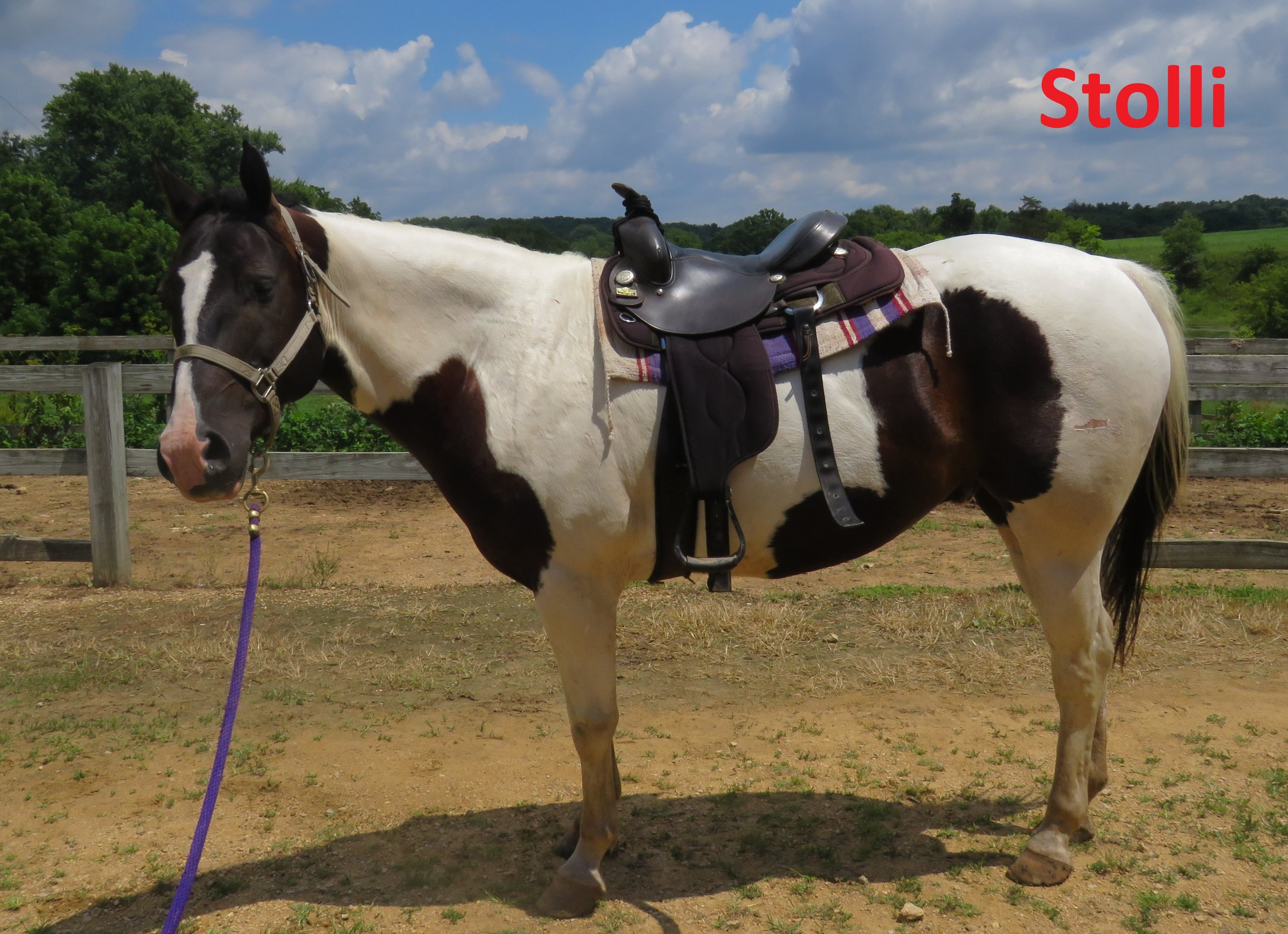 """Stoli- Line Horse, Gelding, Quarter Horse  I am known as the """"cow horse"""" because of my coloring.  I am fairly new to the herd at White Pines Ranch, but I am very good at my job which is why I am great for all riders."""