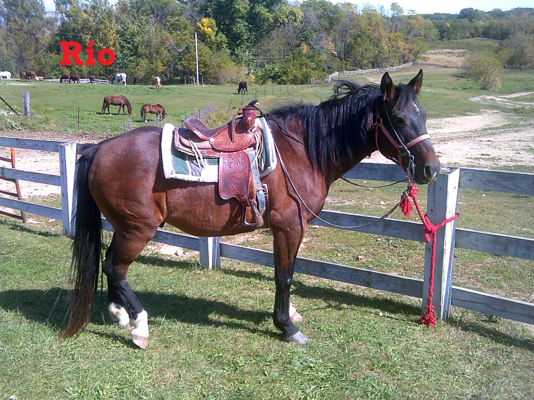 Rio- Line Horse, Gelding, Quarter Horse  I have been around a while and I enjoy my job very much. I am one of the most popular horses with the younger kids because I am so gentle and listen very well!