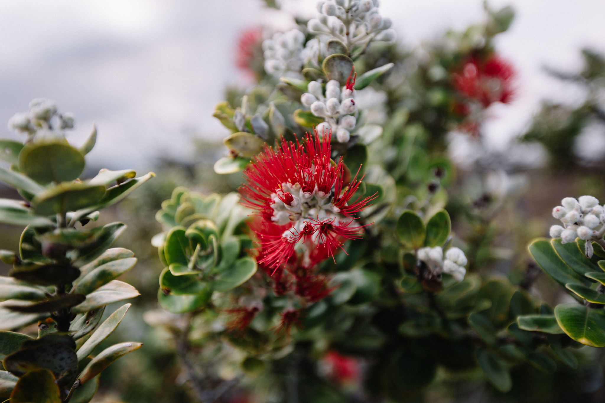 This incredible plant is named 'ohi'a lehua. It can grow in between the cracks in lava rock, and, in case of volcanic gases, it can close its stoma to keep sulfur dioxide out.