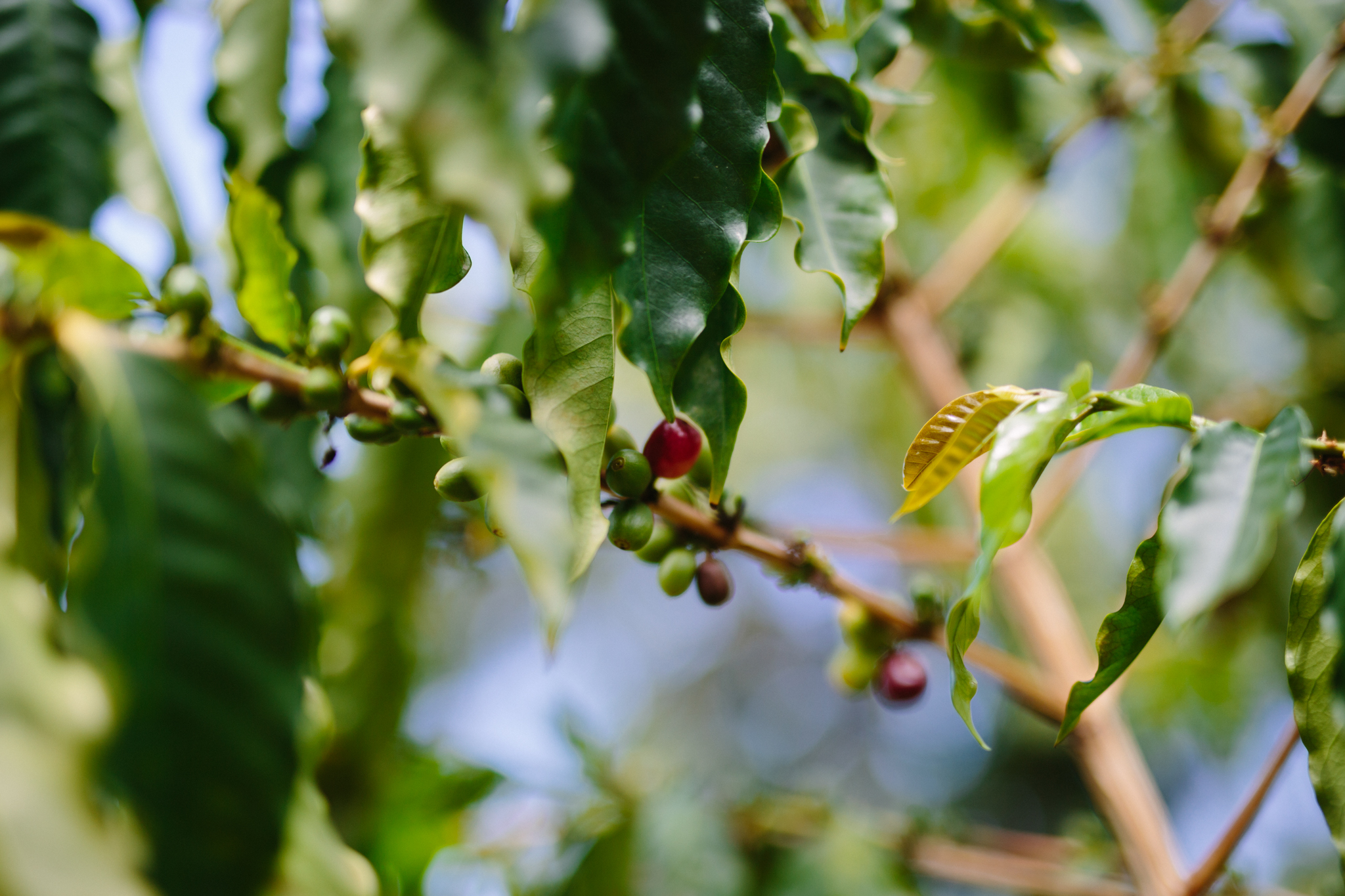 Coffee 'cherries' (the fruit around a coffee bean) at OHCF.