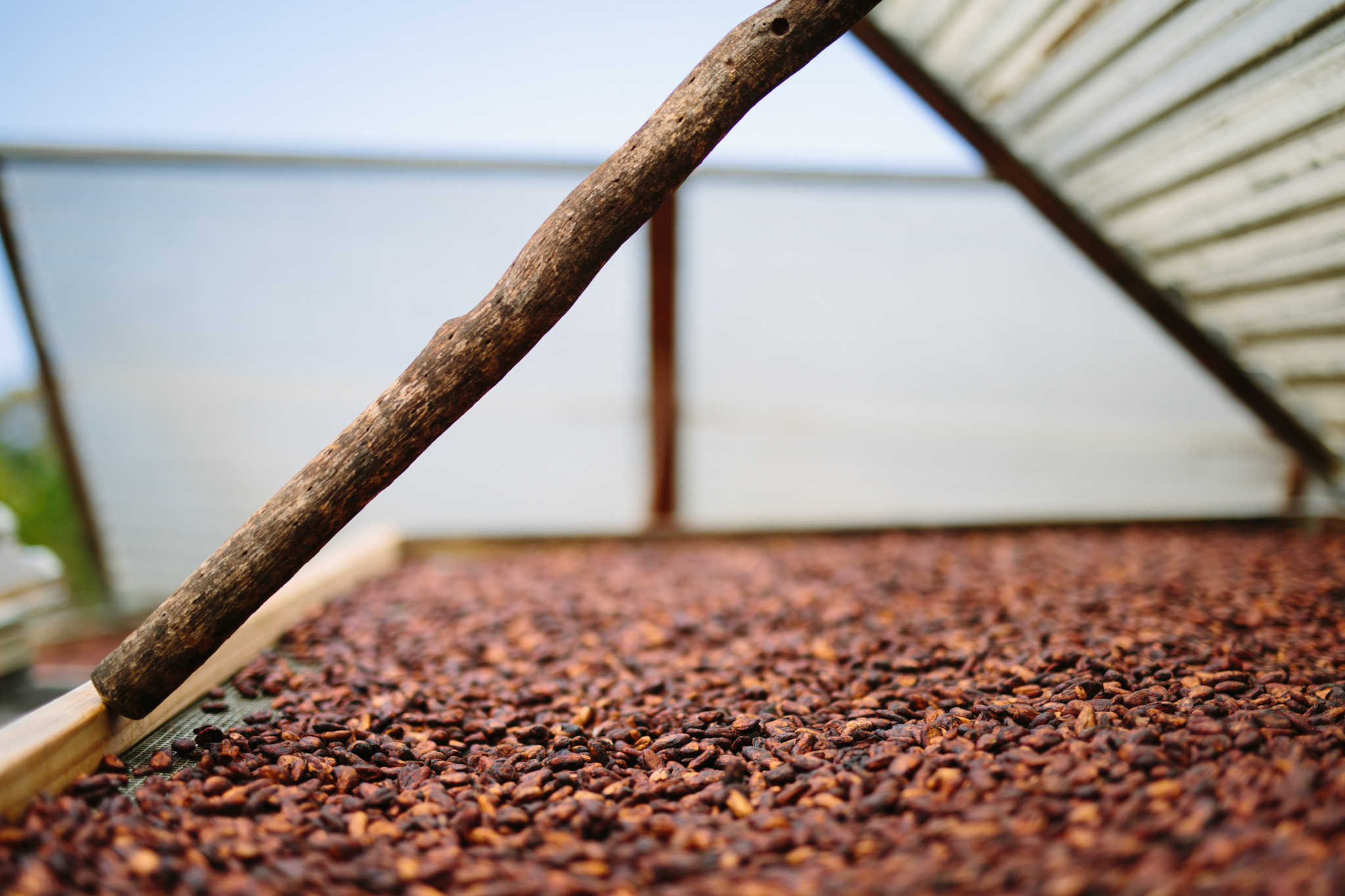Drying cacao beans! They reek when they're fermenting, but at the drying stage they smell delicious.