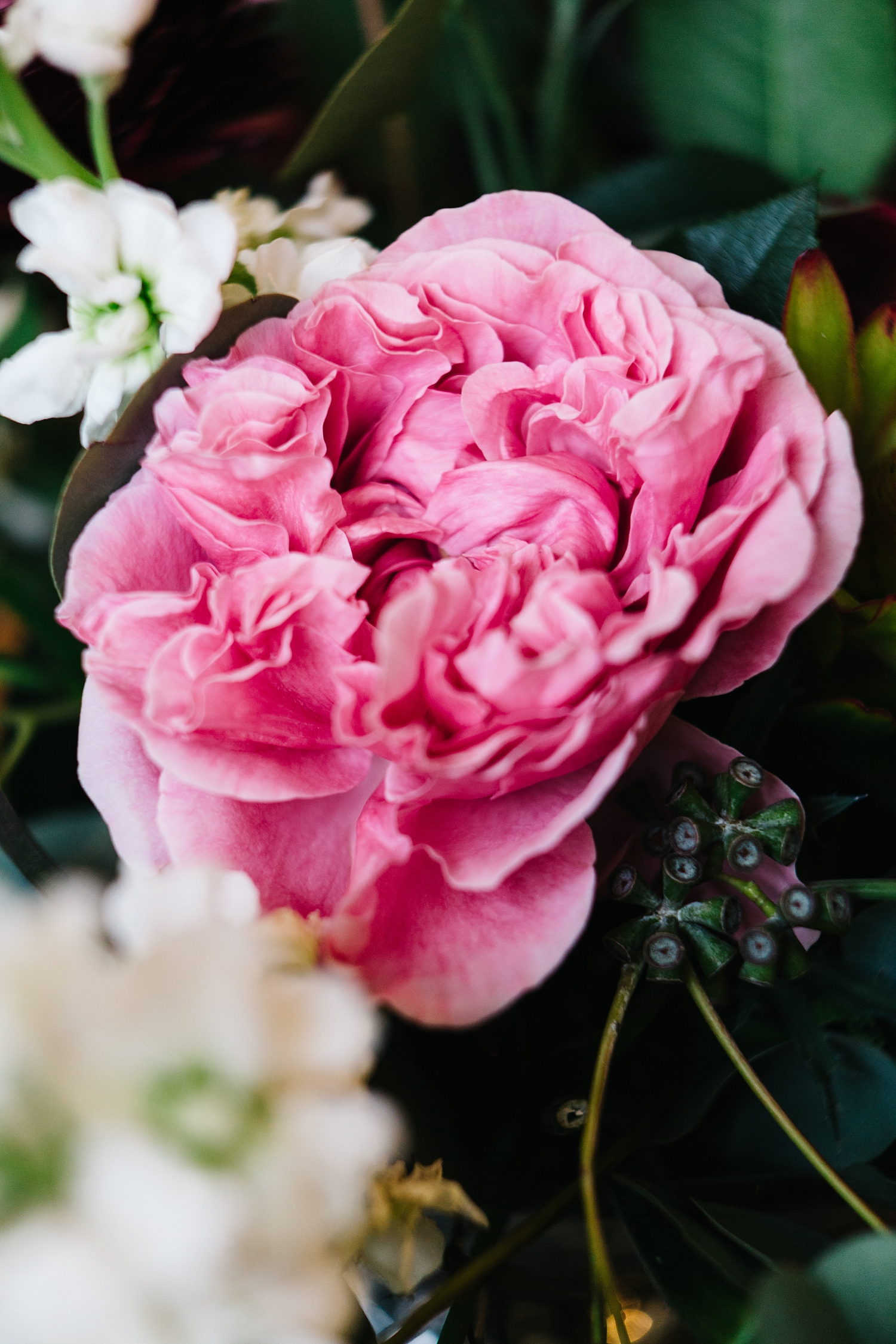 David Austin Garden Rose 'Miranda'