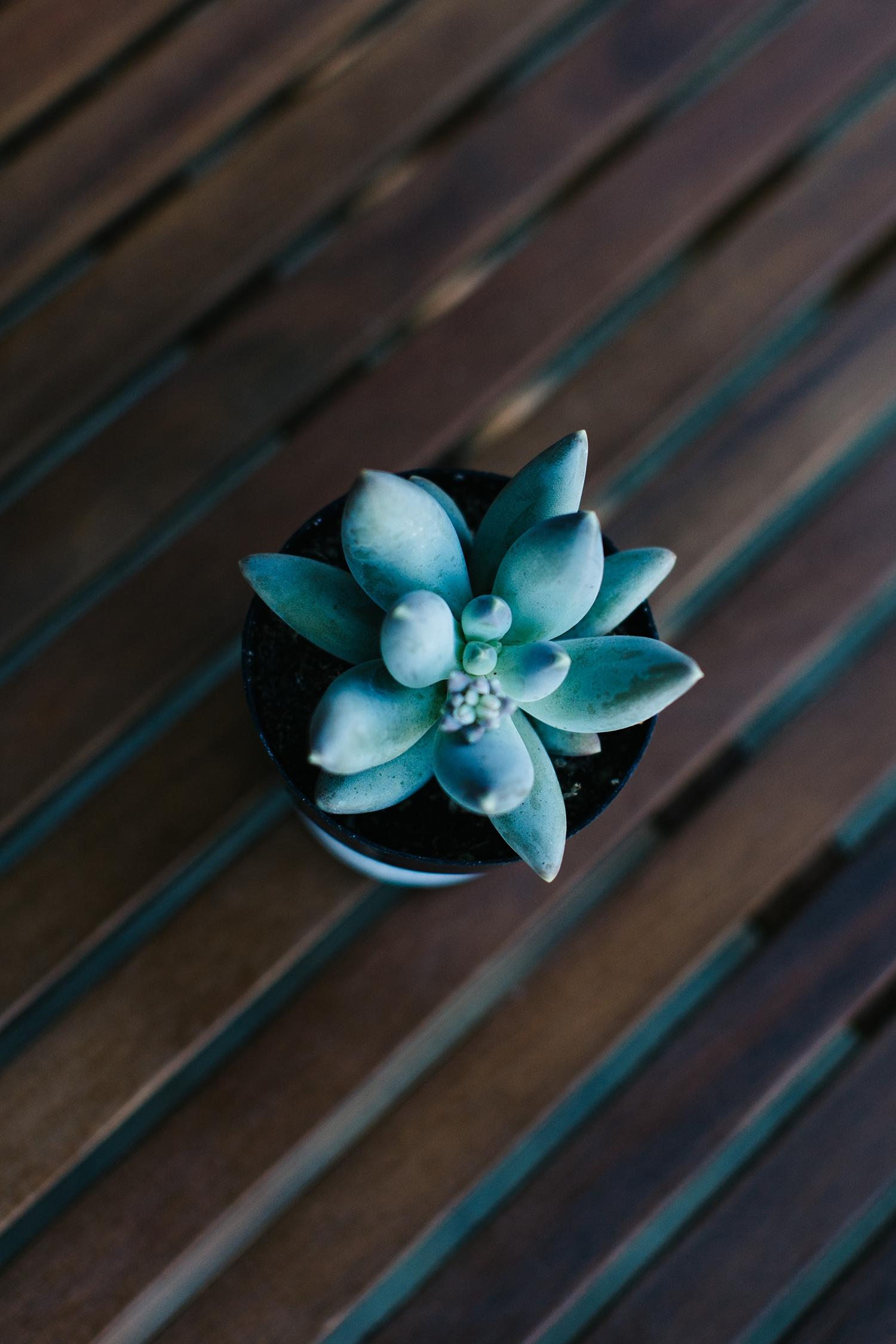Pachyphytum bracteosum with plump blue succulent leaves.