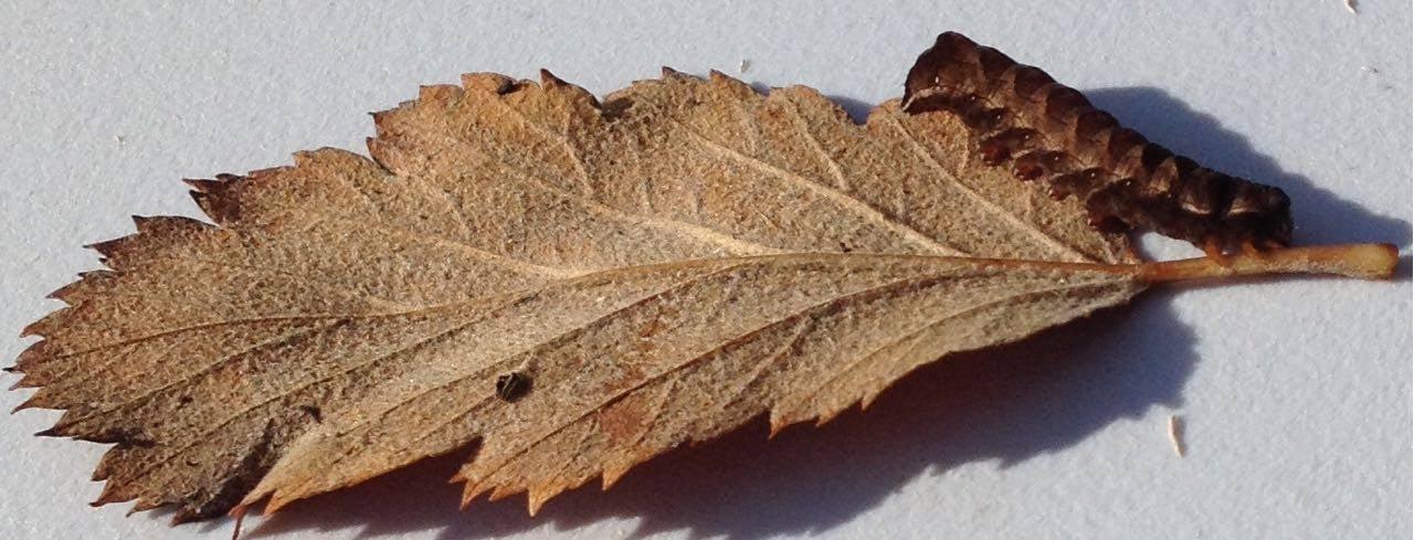 Caterpillar on a whitebeam leaf.