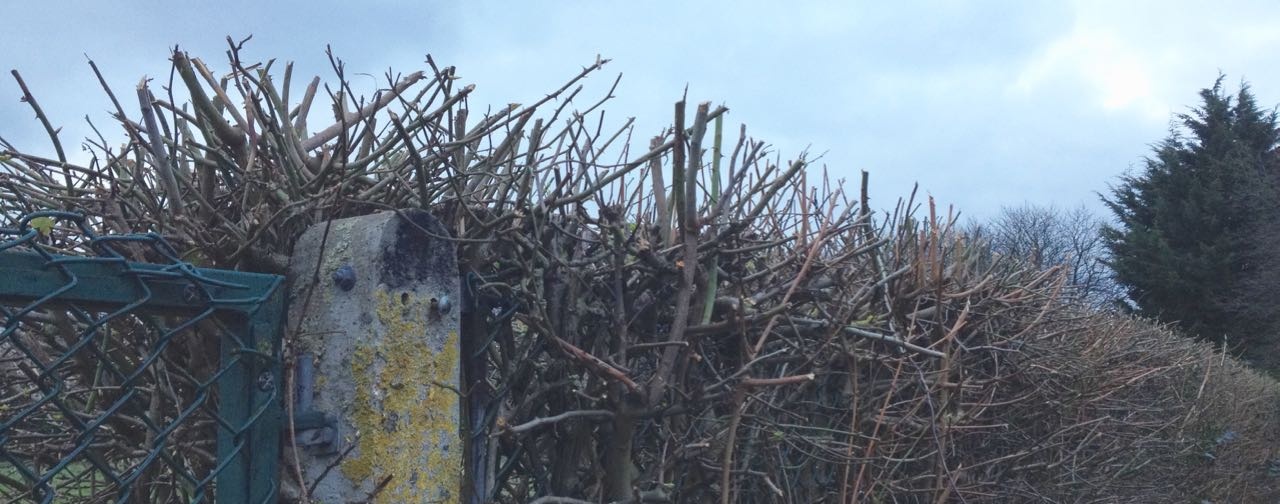 Freshly cut hedge, ready for lots of bird nesting, we hope.