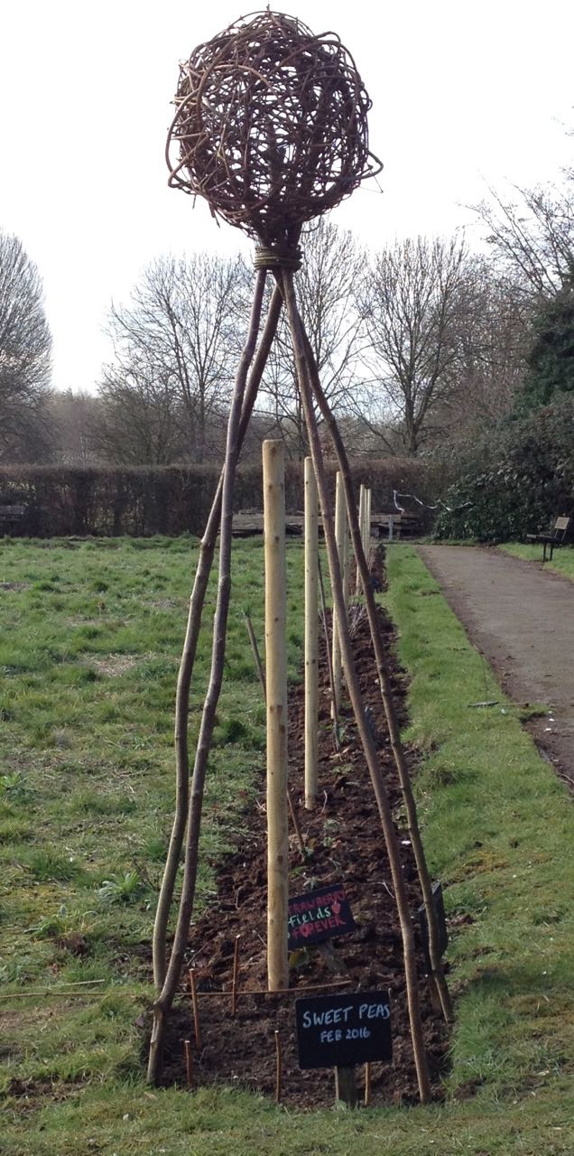 Direct sown sweet peas under the hazel and hedge wigwam.