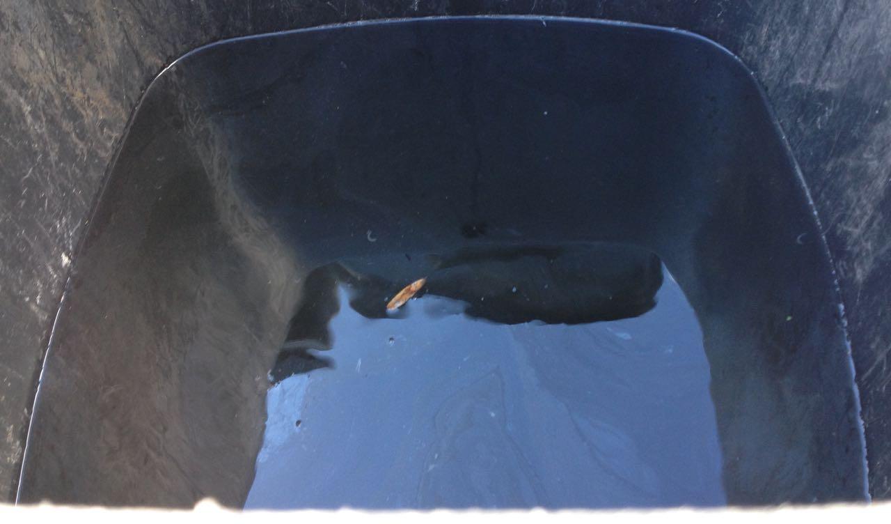 Lots of water in one of the wheelie bin waterbutts