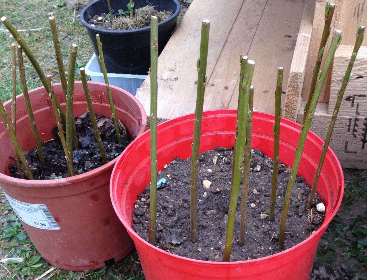 Harrison's willow cuttings coming into bud.