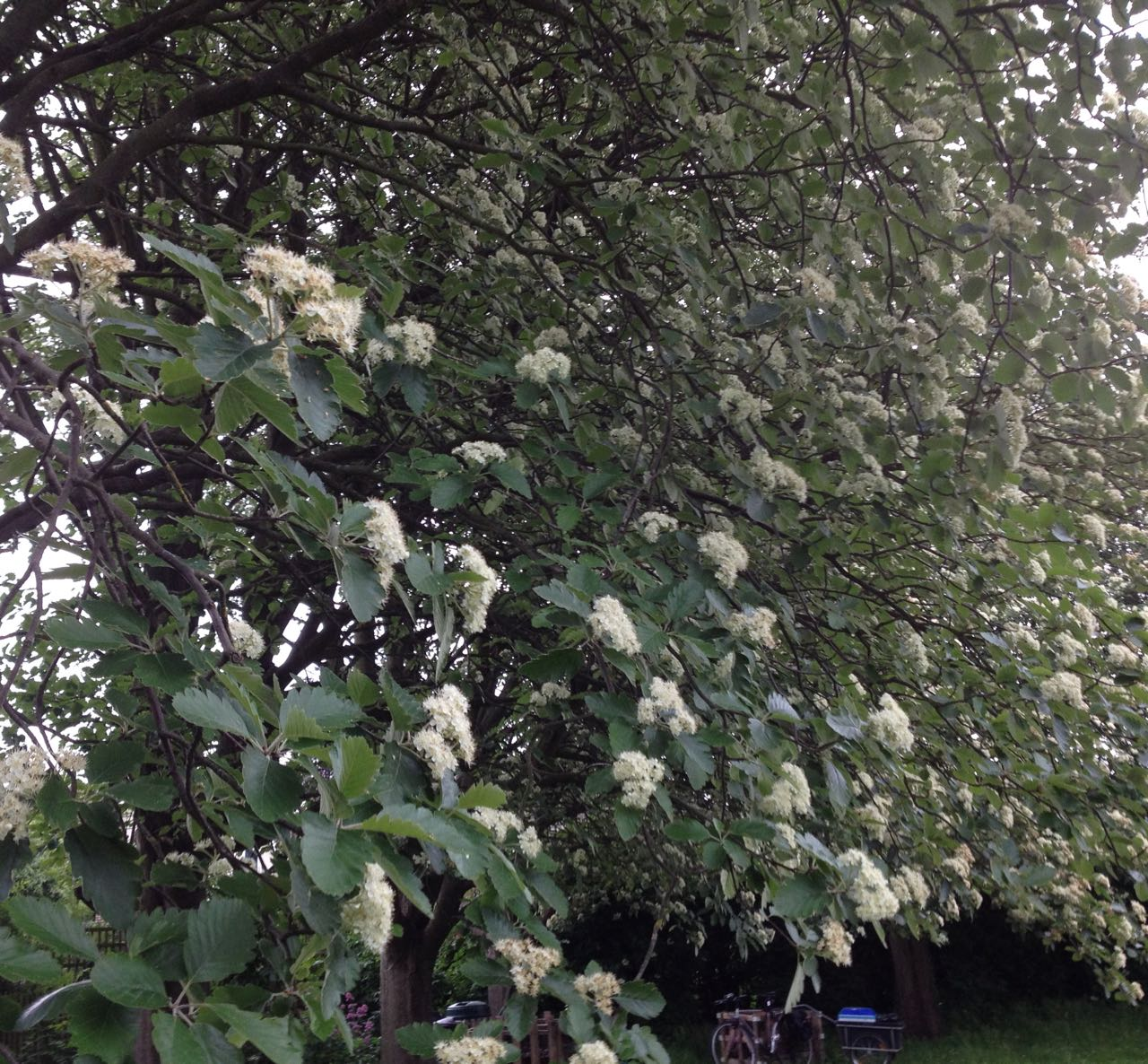 Beautiful blossom on the Whitebeam trees inside the bowling green but also extending into the main park