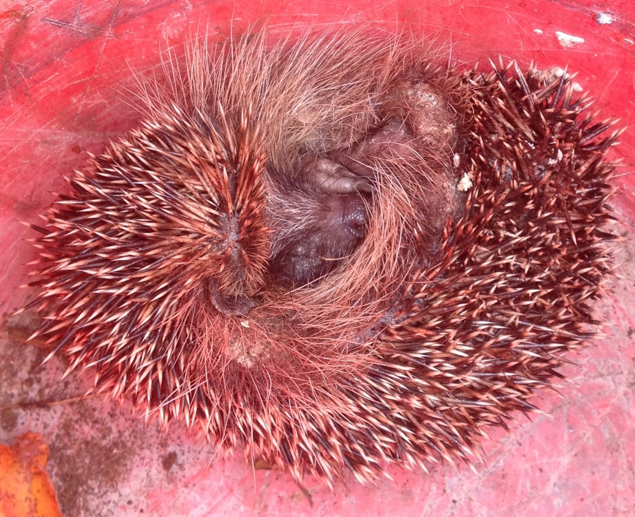We carefully moved the hedgehog into a bucket and later gave it some water and hedgehog food (see video below). The hog stayed curled up for quite some time - they have very big feet!