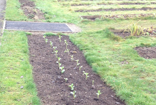 Broad beans - started off in modules and transplanted. We will add some more in February.