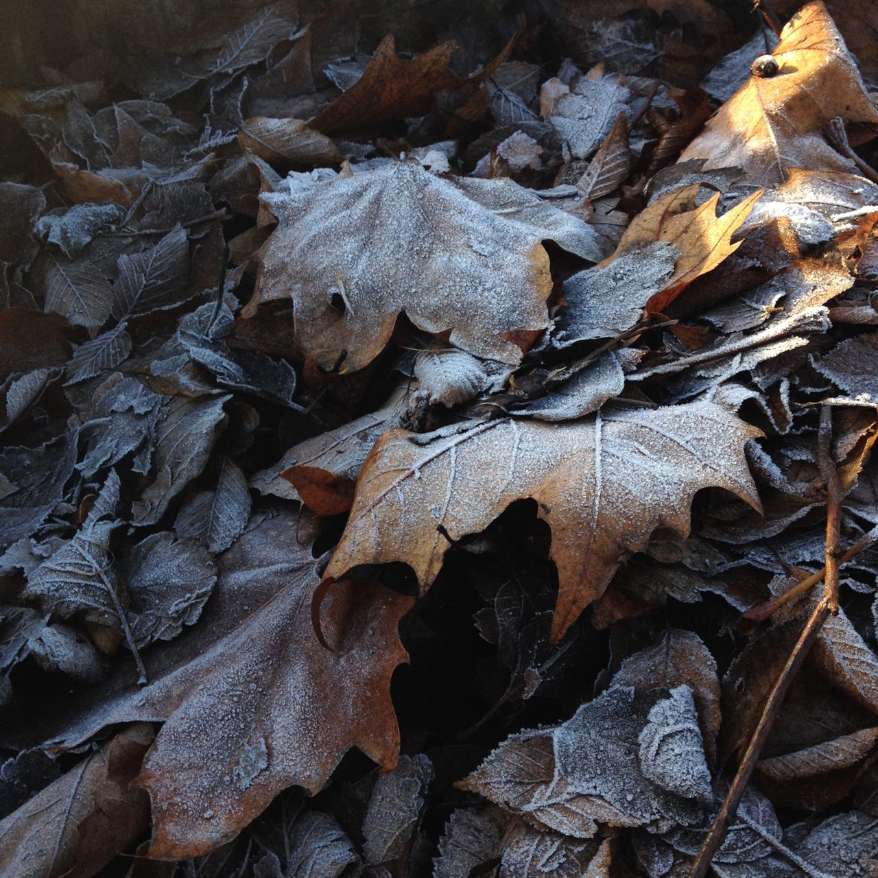 Frost on park and garden leaves in one of the layers of one of the new raised beds.