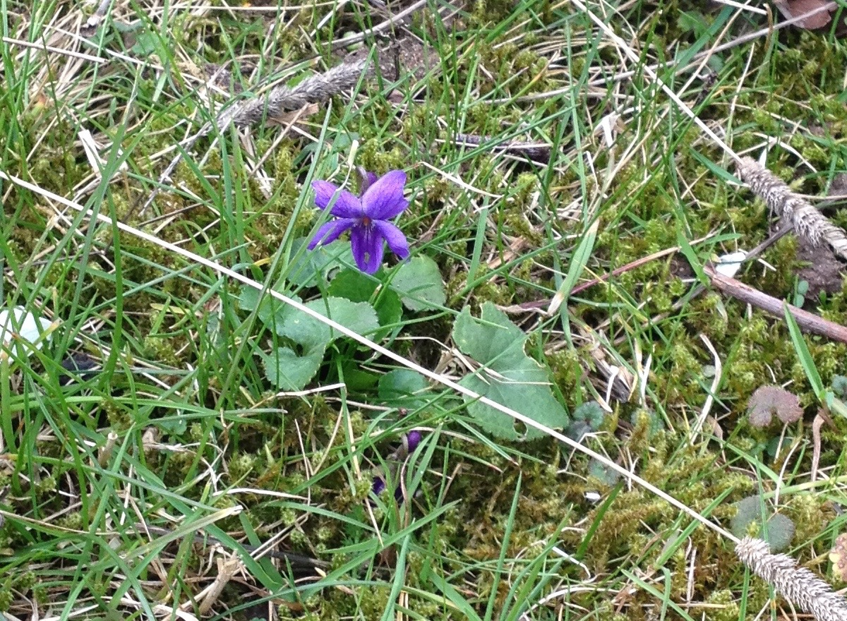 There are lots of little violets out in the mossy grass at the moment. It is a very purple time in the garden.