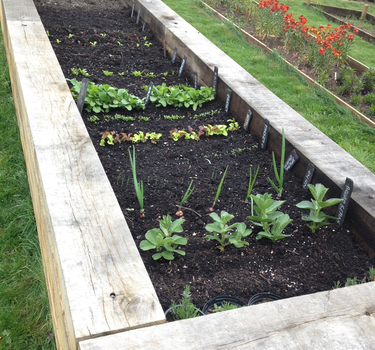 The salad bed is doing really well -especially thanks to Barbara's watering between sessions.