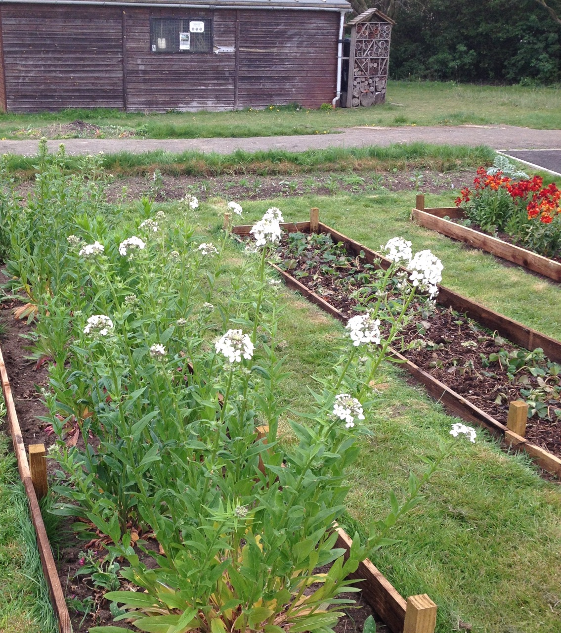 The hesperis (sweet rocket) is coming into flower - and we have a new bed of Snow White, white strawberries (pineberries). And biennial wallflowers.