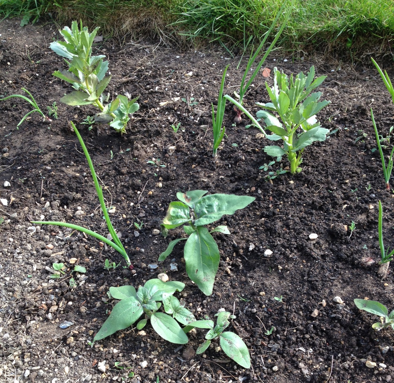 Self-sown sunflowers in the broad bean and onion row. These might be dwarf ones.