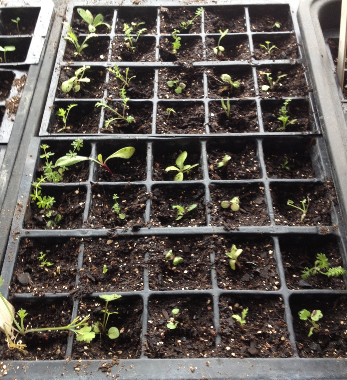 19 May 2017: Some of the seedlings that germinated from the perennial Golden Summer seedmix, started in a seed tray indoors (sterile compost). Some were larger and potted up (but that photo was rather out of focus!). They seem similar to the ones sown in situ.