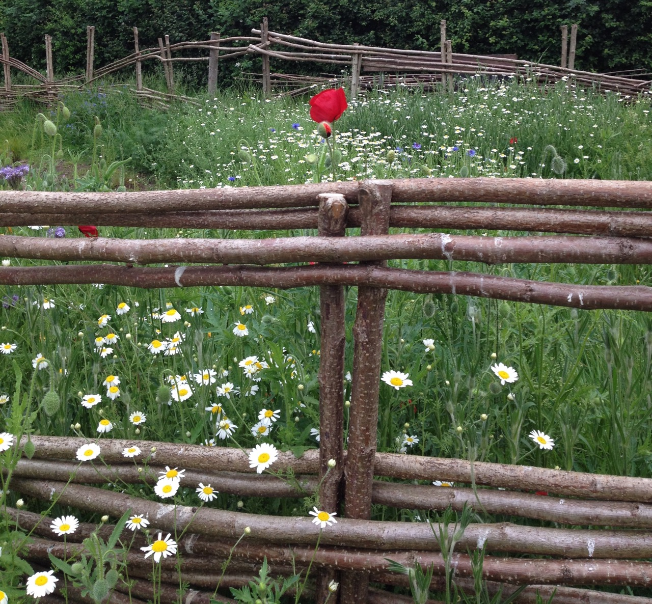 Tall poppy syndrome... over the woven fence...