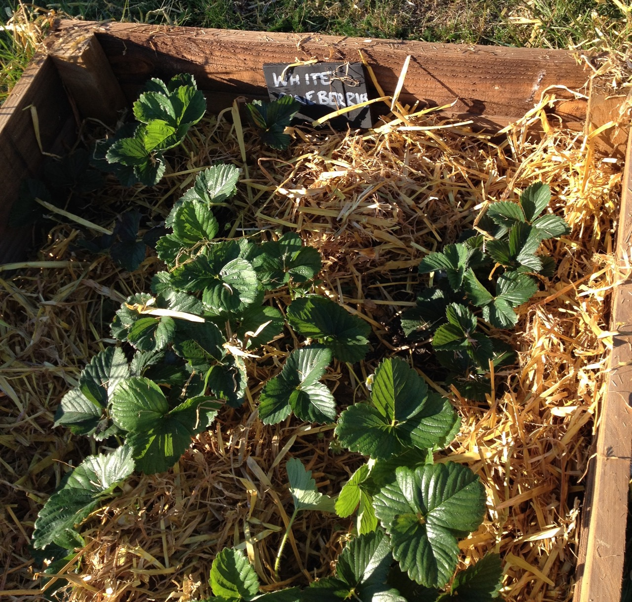 White  'Snow White' strawberries (pineberries), with their new mulch. They are just starting (eat them when they are slightly yellow and soft) but were very popular - they are sweet and have a hint pineapple.