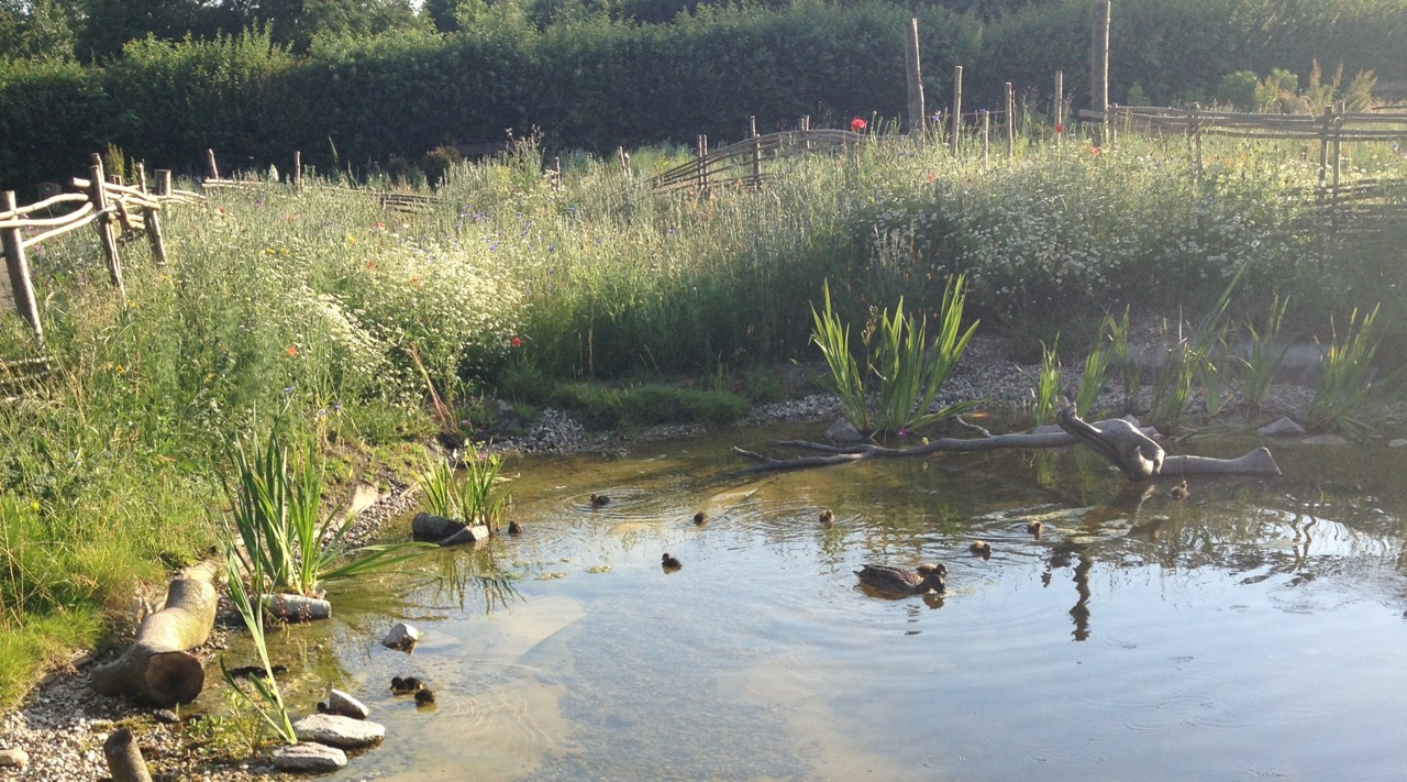 Mrs Mallard and her ducklings, having a swim in the early evening sun