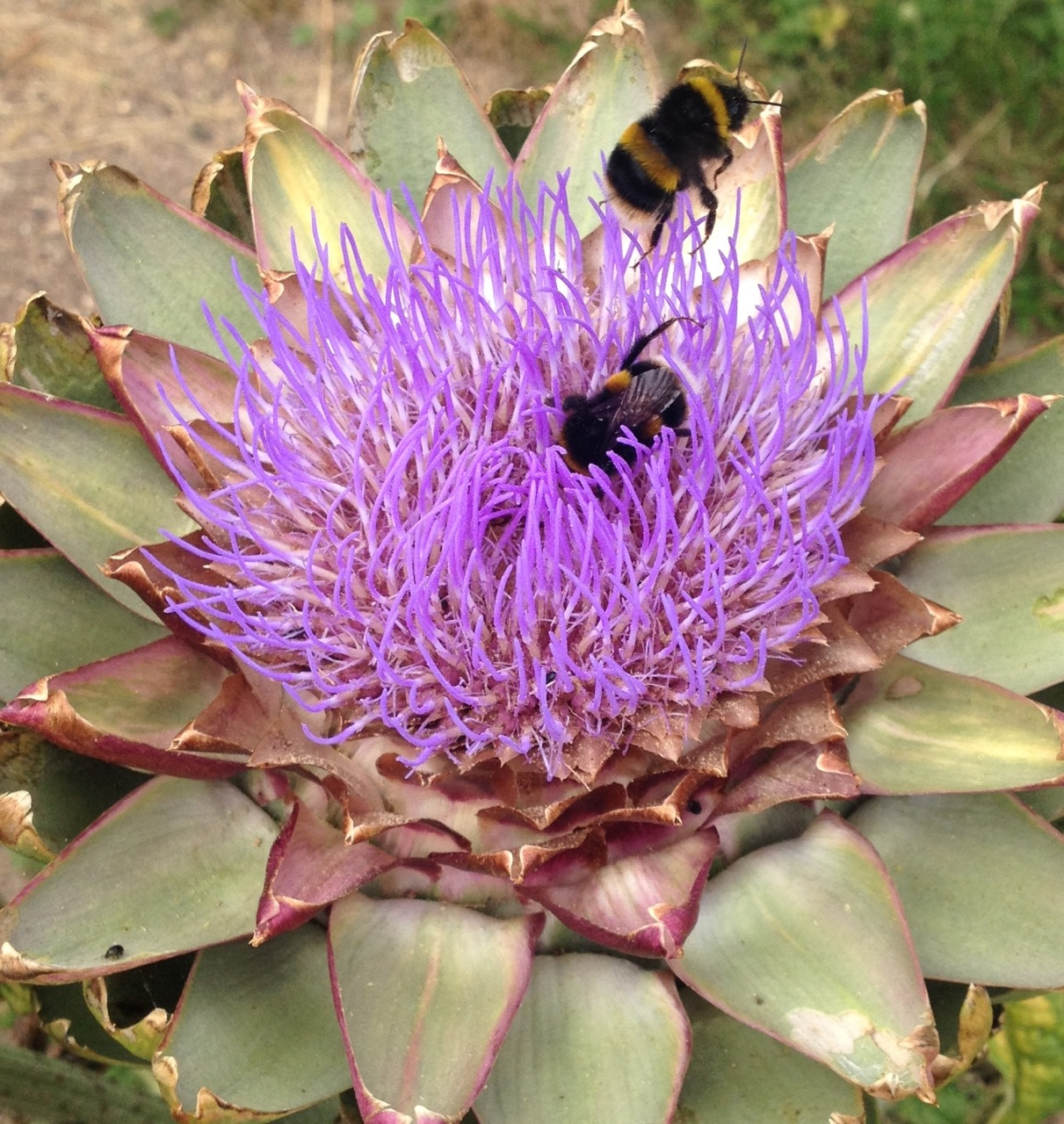 We grow a mix of flowers and produce in the garden but at least some of the foods we allow to flower in case they are attractive to insects. Bees love globe artichokes! A single bumblebee can spend many minutes crawling over the purple flower, which gives ample opportunity for even an average camera phone to get at least one photo in focus.