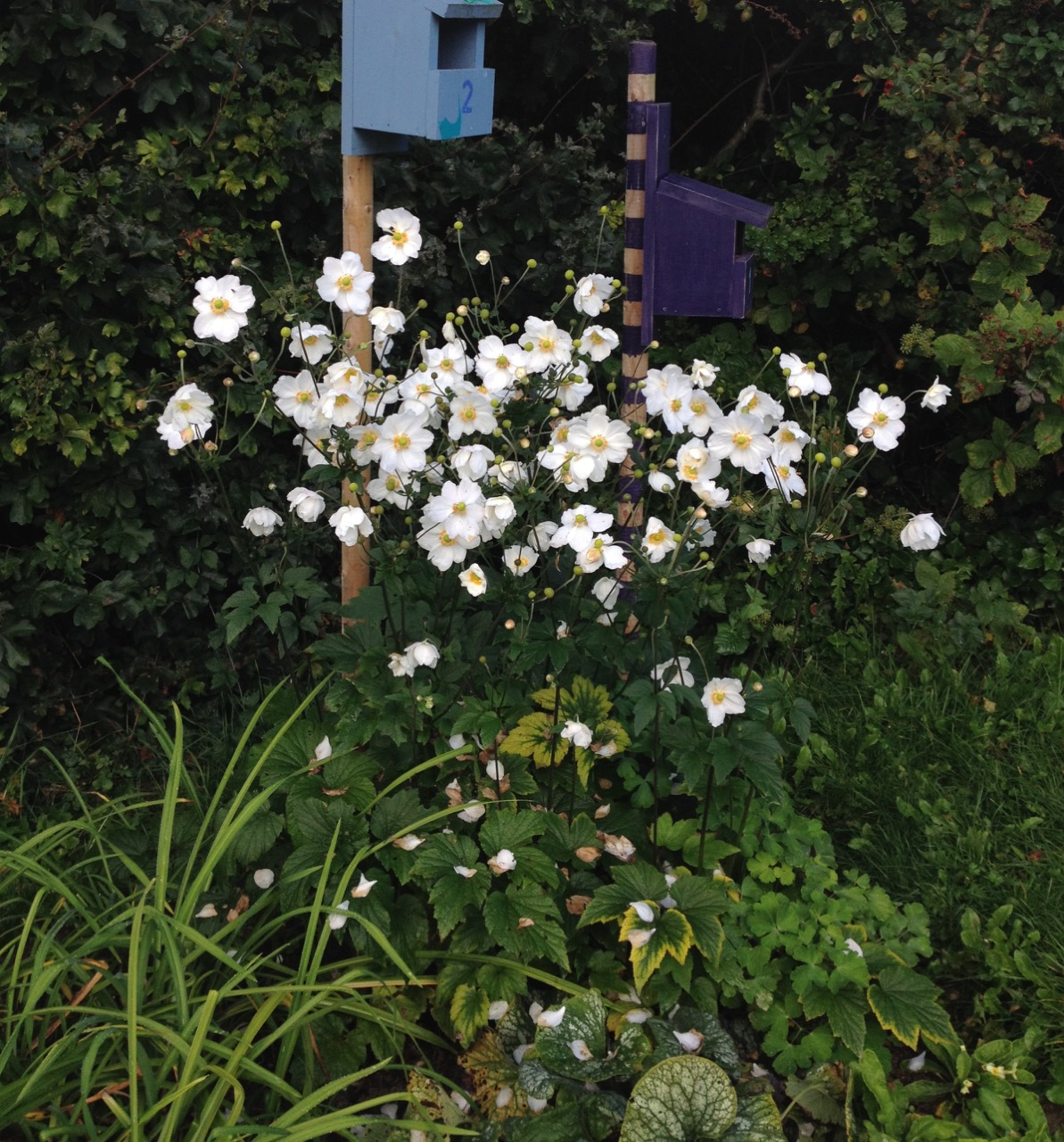 And as new flowers come out, we captured a few plant combinations we like. Here we have Japanese anemones, with daylily leaves (both divided last year from a local garden) and brunnera (from a charity plant sale). The white flowers look good against the dark hedge behind.