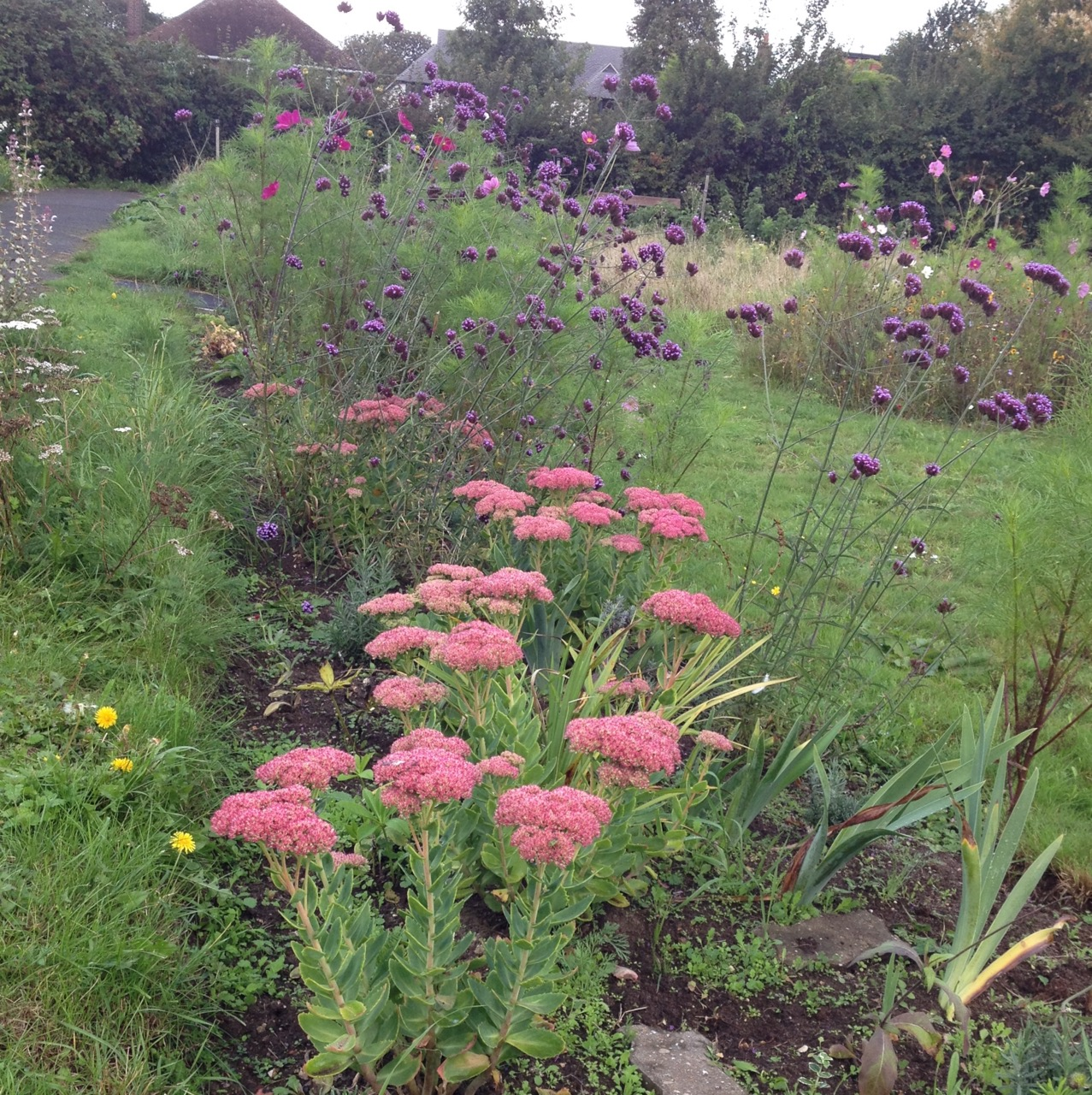 We can't really have enough Verbena bonariensis (grown from seed) - and they look great with the flowering sedums (from garden cuttings) - the pollinators are really spoiled for choice!