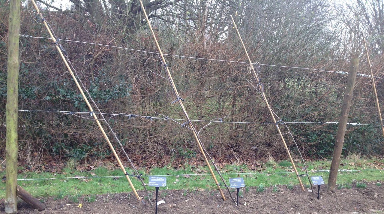 We have six cordon apple trees now by the path, and another one in the main bowls area. With some bulbs between.