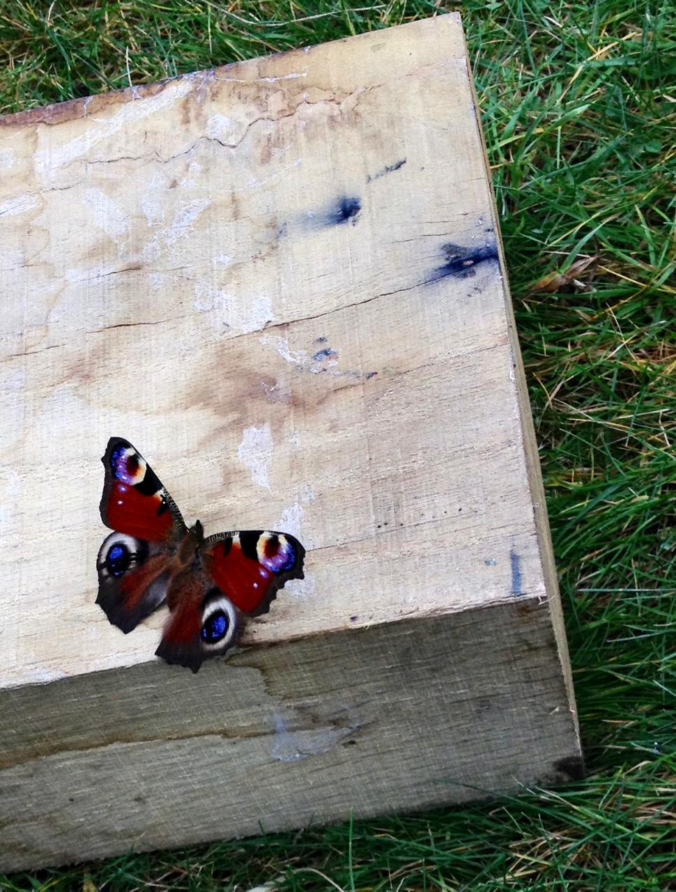 We moved some wood, making a turf seat, and disturbed this hibernating peacock butterfly. It slowly flapped its wings for several minutes, making a strange noise, so we put it back under the woodpile to have a longer 'sleep'.